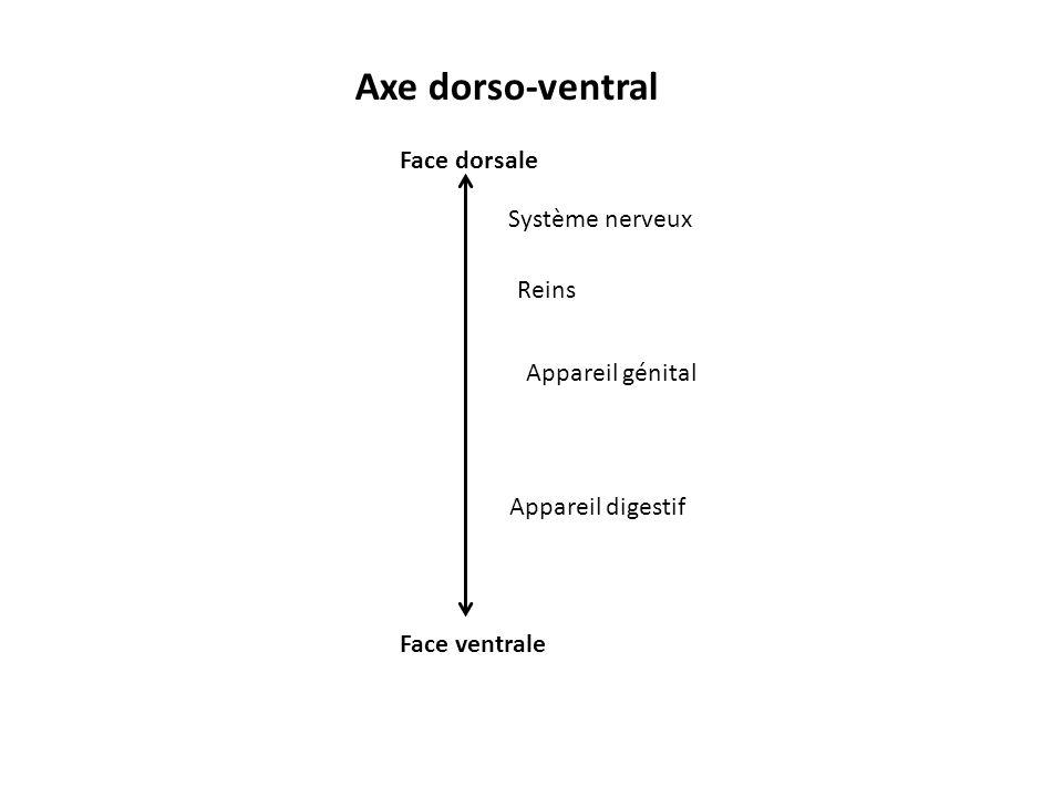 Axe dorso-ventral Face dorsale Système nerveux Reins Appareil génital