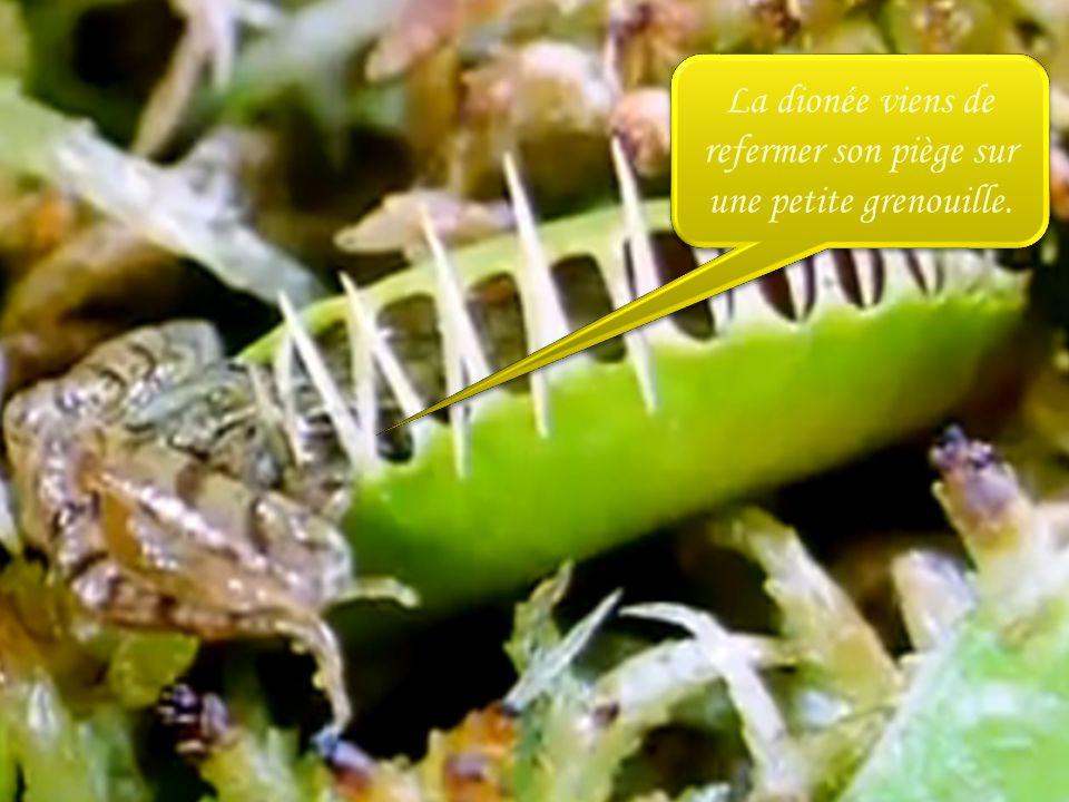 les plantes carnivores ces plantes qui ont toujours faim ppt t l charger. Black Bedroom Furniture Sets. Home Design Ideas