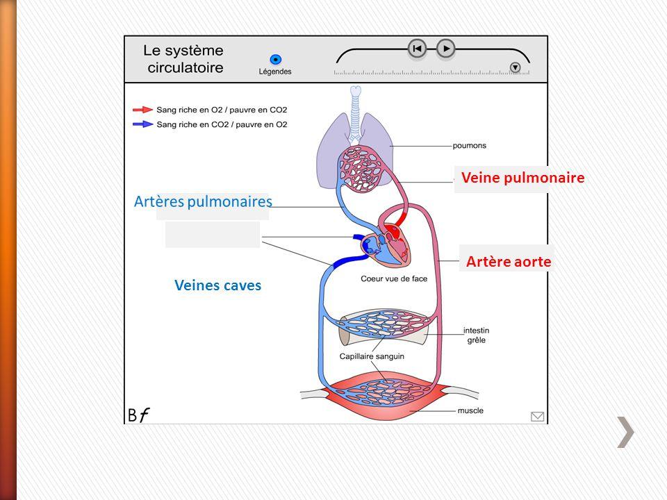 Veine pulmonaire Artère aorte Veines caves