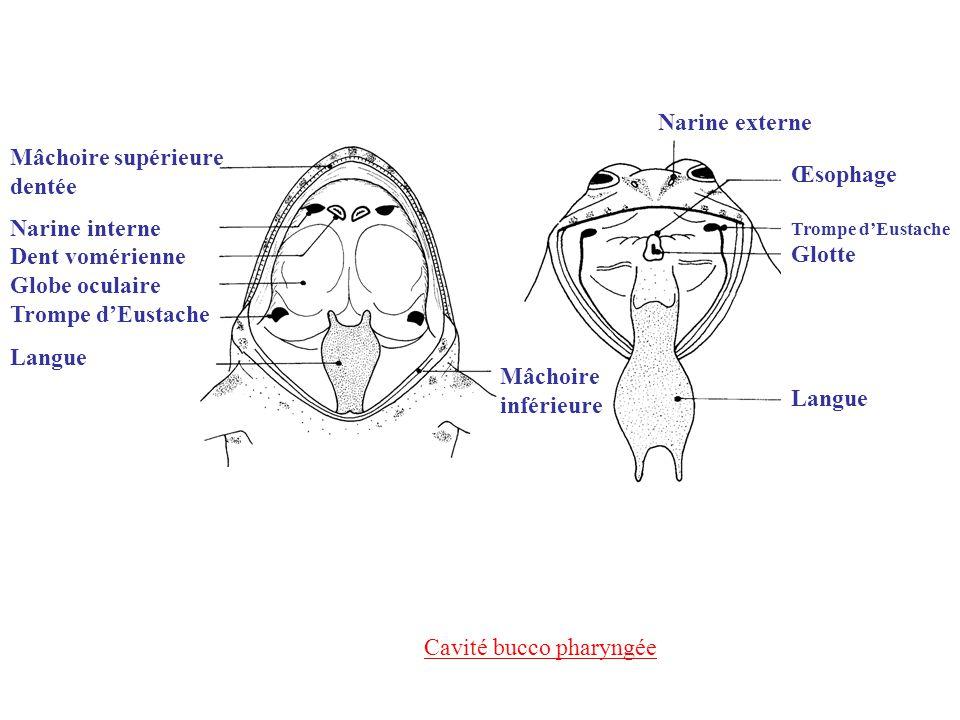 Cavité bucco pharyngée