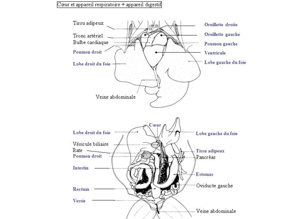 Oreillette droite Oreillette gauche. Poumon gauche. Ventricule. Lobe gauche du foie. Poumon droit.