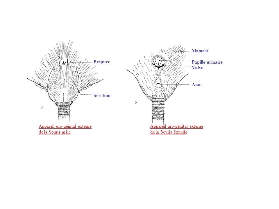 Mamelle Papille urinaire. Vulve. Anus. Prépuce. Scrotum.