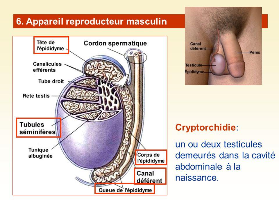 6. Appareil reproducteur masculin