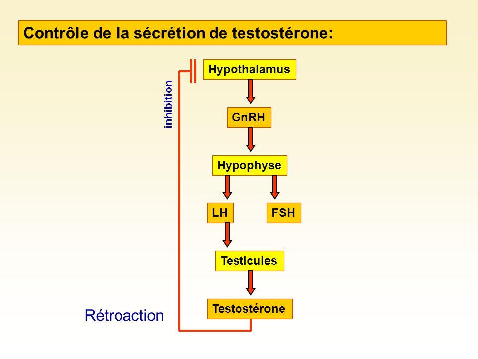 Contrôle de la sécrétion de testostérone: