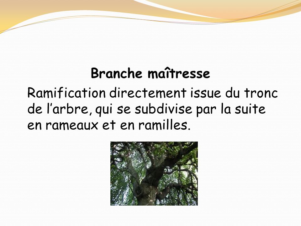 Branche maîtresse Ramification directement issue du tronc de l'arbre, qui se subdivise par la suite en rameaux et en ramilles.
