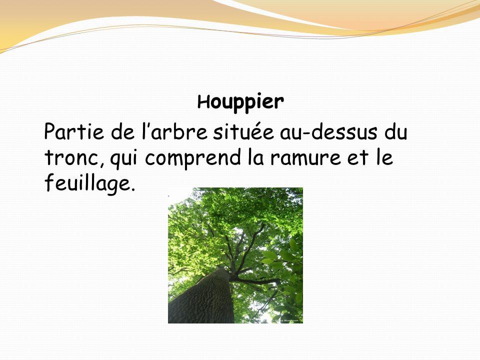 Houppier Partie de l'arbre située au-dessus du tronc, qui comprend la ramure et le feuillage.