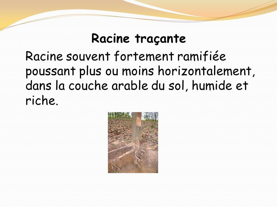 Racine traçante Racine souvent fortement ramifiée poussant plus ou moins horizontalement, dans la couche arable du sol, humide et riche.