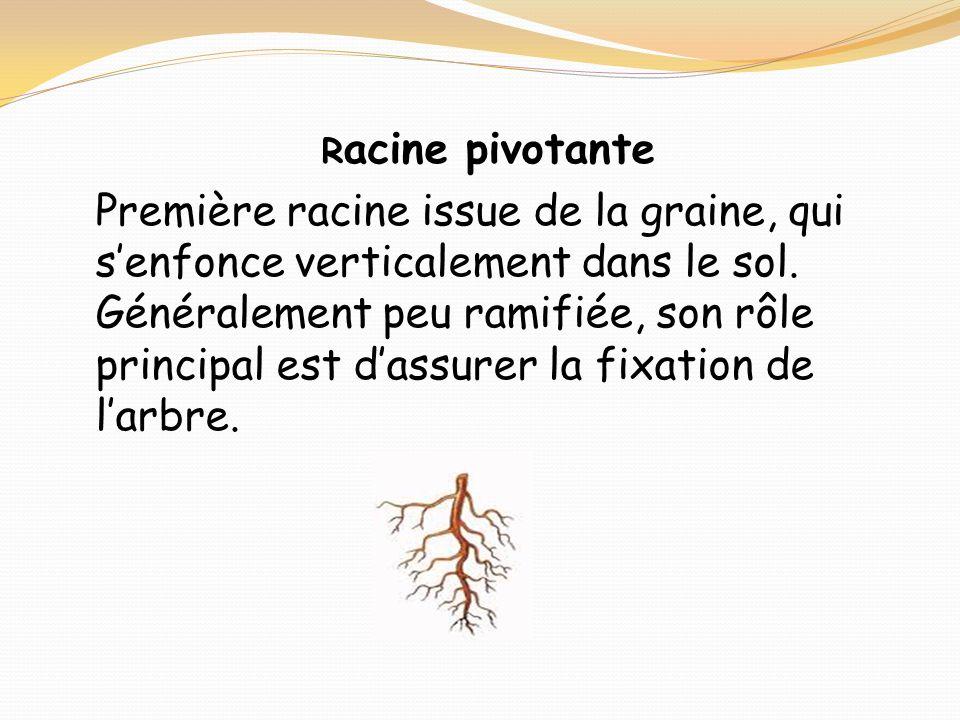 Racine pivotante