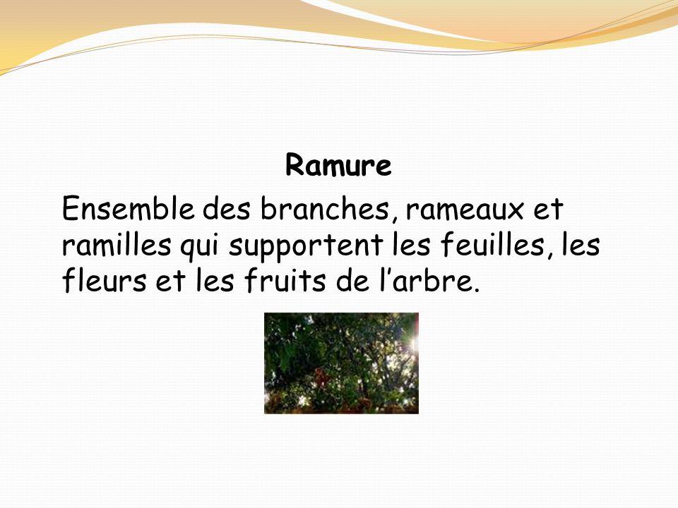 Ramure Ensemble des branches, rameaux et ramilles qui supportent les feuilles, les fleurs et les fruits de l'arbre.