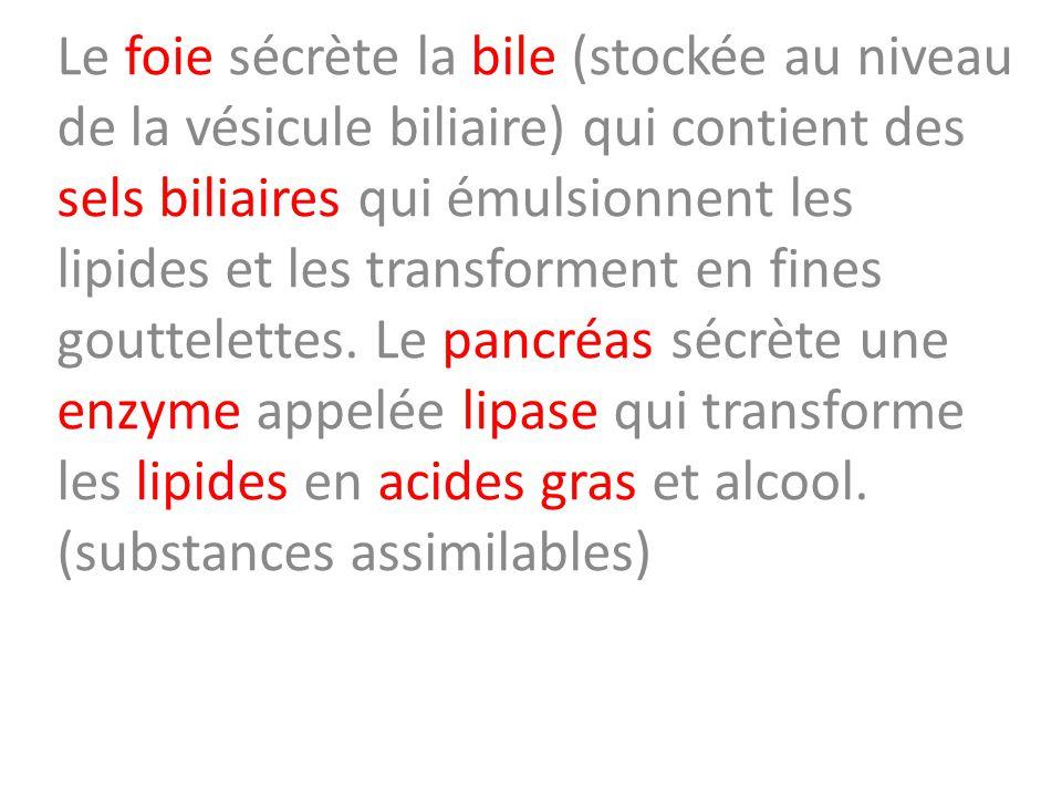 Le foie sécrète la bile (stockée au niveau de la vésicule biliaire) qui contient des sels biliaires qui émulsionnent les lipides et les transforment en fines gouttelettes.