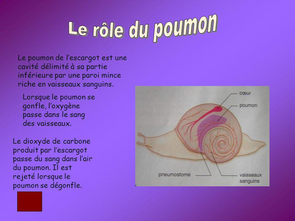 Le rôle du poumon Le poumon de l'escargot est une cavité délimité à sa partie inférieure par une paroi mince riche en vaisseaux sanguins.