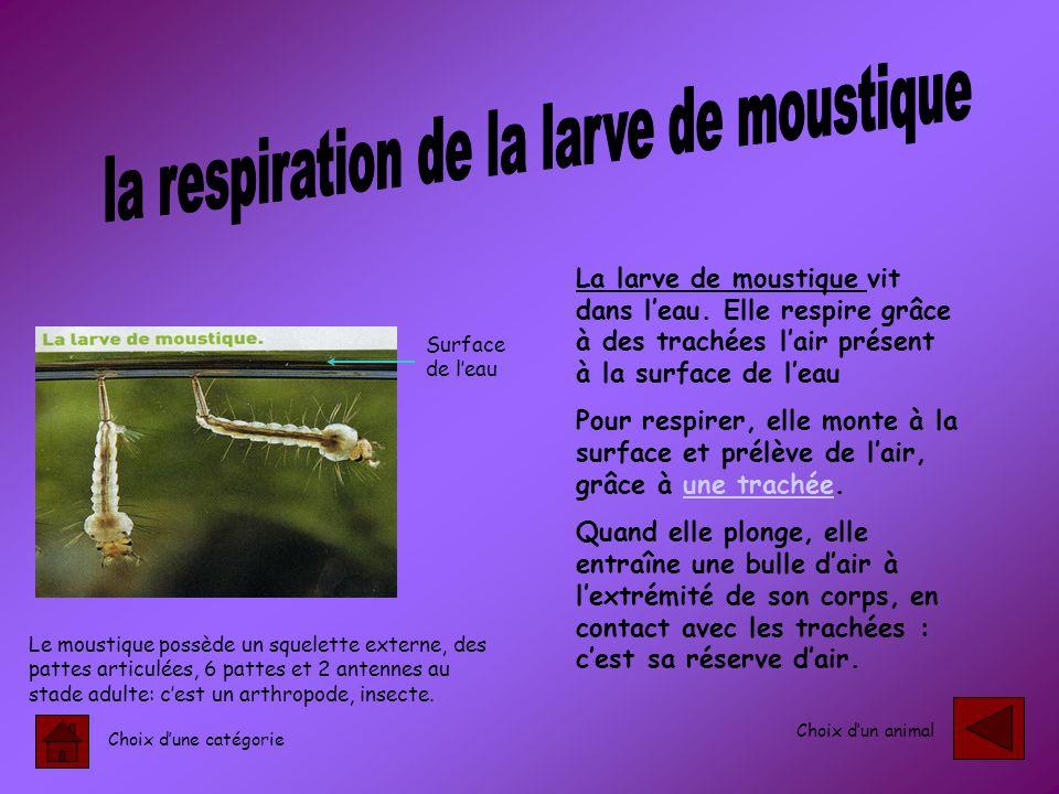 la respiration de la larve de moustique