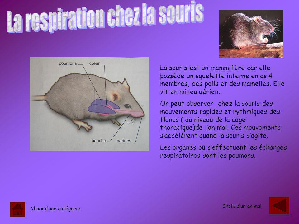 La respiration chez la souris