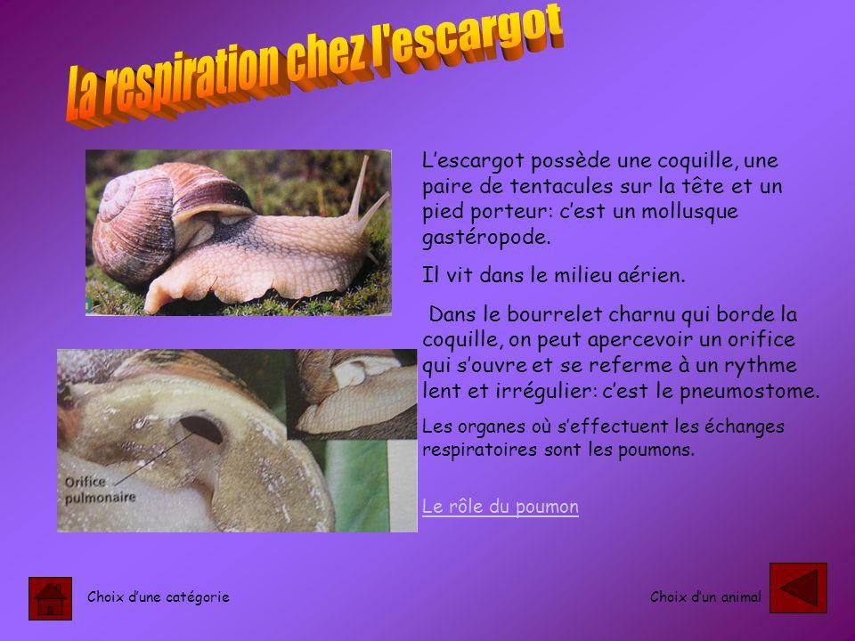 La respiration chez l escargot