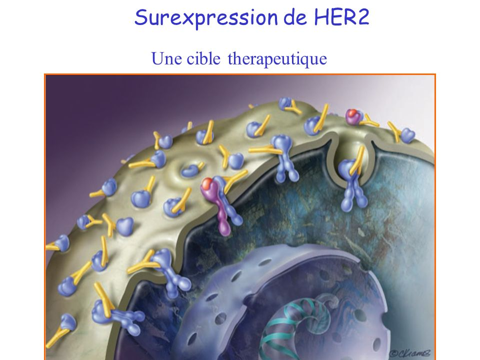 Surexpression de HER2 Une cible therapeutique