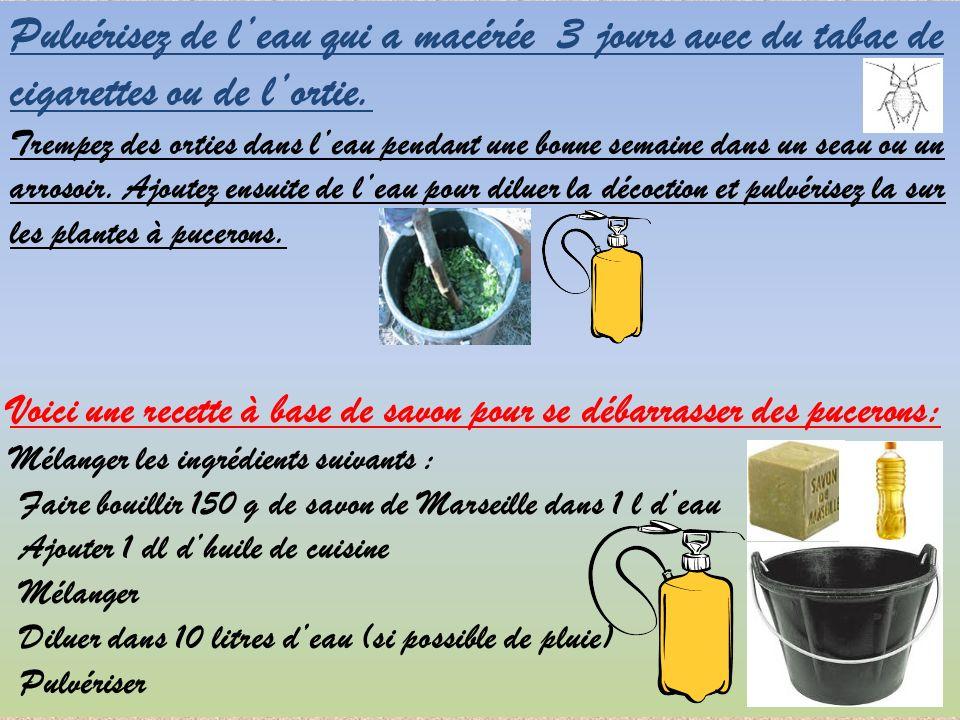Se dbarrasser des pucerons larves de coccinelle contre pucerons rponses plante interieur pour - Se debarrasser des pucerons ...