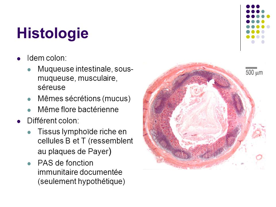 Histologie Idem colon: