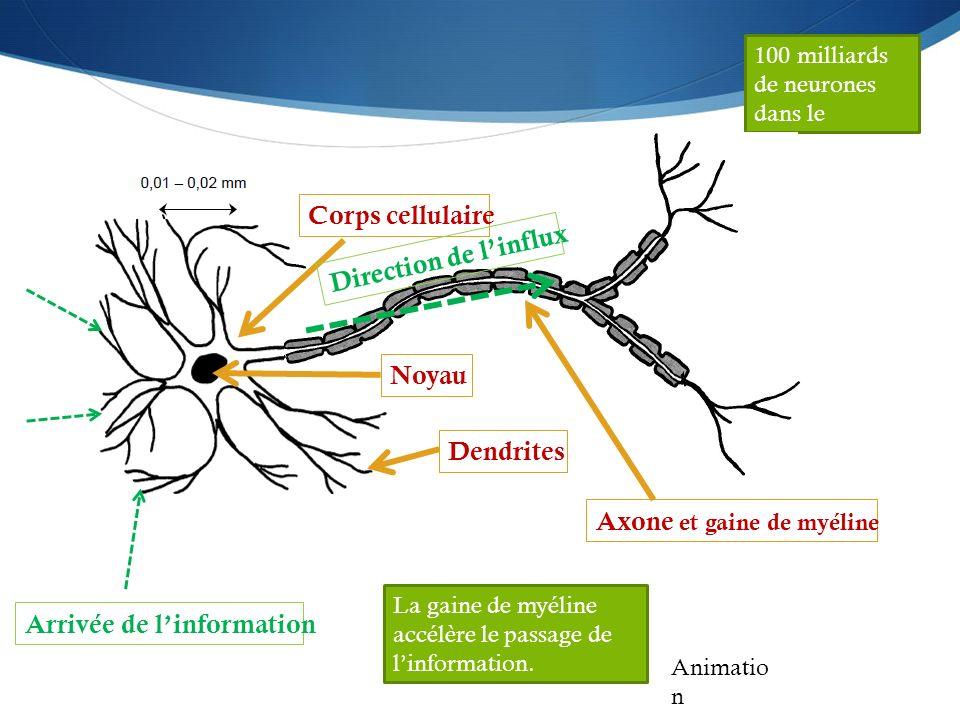 Axone et gaine de myéline