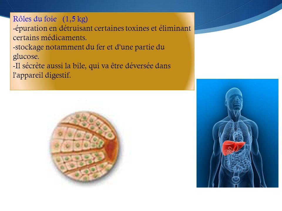 Rôles du foie (1,5 kg) épuration en détruisant certaines toxines et éliminant certains médicaments.