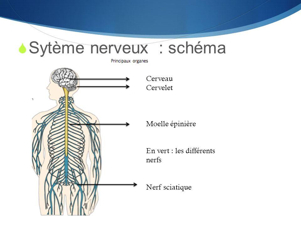 Sytème nerveux : schéma