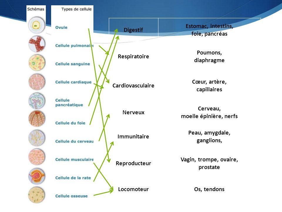 Digestif Estomac, intestins, foie, pancréas. Respiratoire. Poumons, diaphragme. Cardiovasculaire.