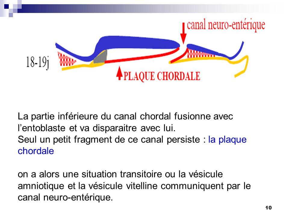 La partie inférieure du canal chordal fusionne avec l'entoblaste et va disparaitre avec lui.