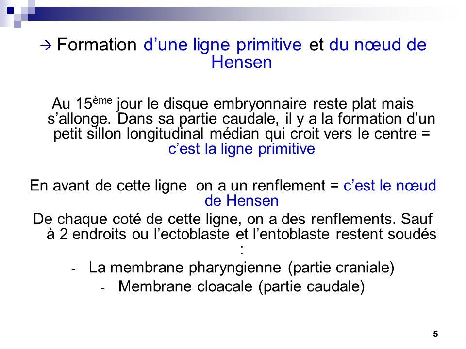 Formation d'une ligne primitive et du nœud de Hensen