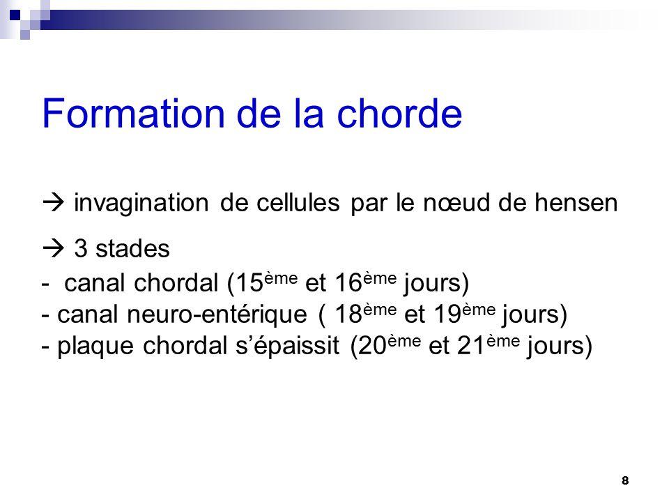 Formation de la chorde  invagination de cellules par le nœud de hensen  3 stades - canal chordal (15ème et 16ème jours) - canal neuro-entérique ( 18ème et 19ème jours) - plaque chordal s'épaissit (20ème et 21ème jours)