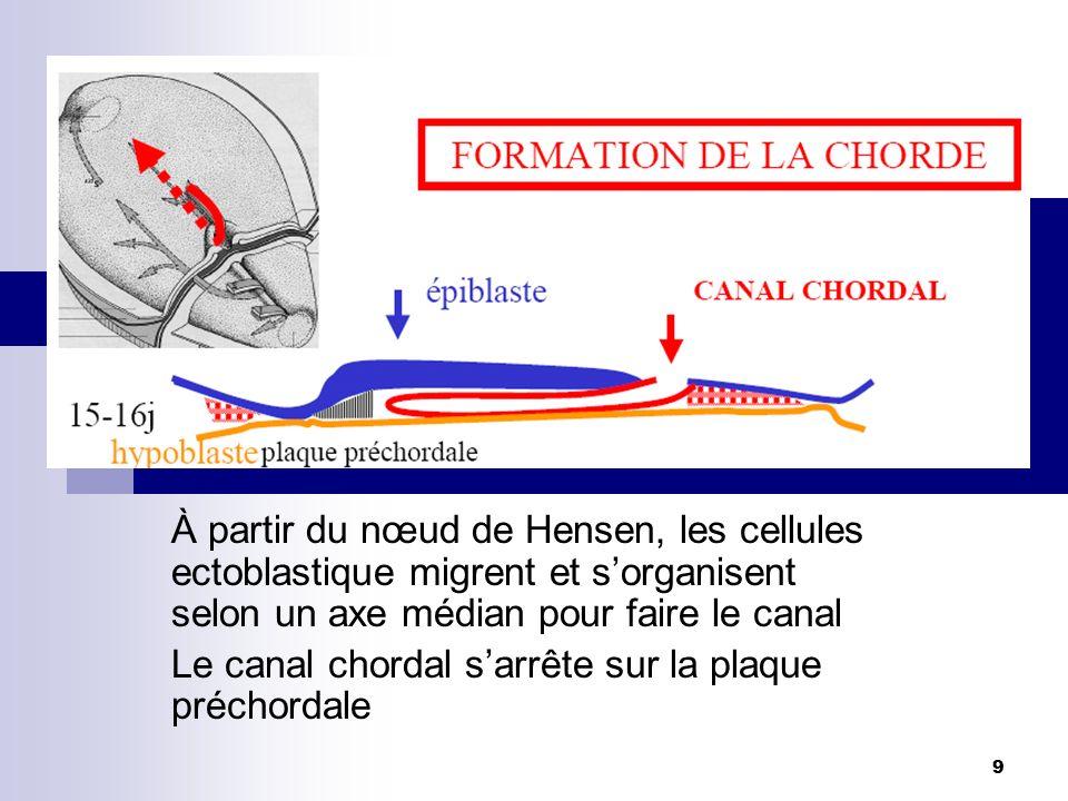 À partir du nœud de Hensen, les cellules ectoblastique migrent et s'organisent selon un axe médian pour faire le canal