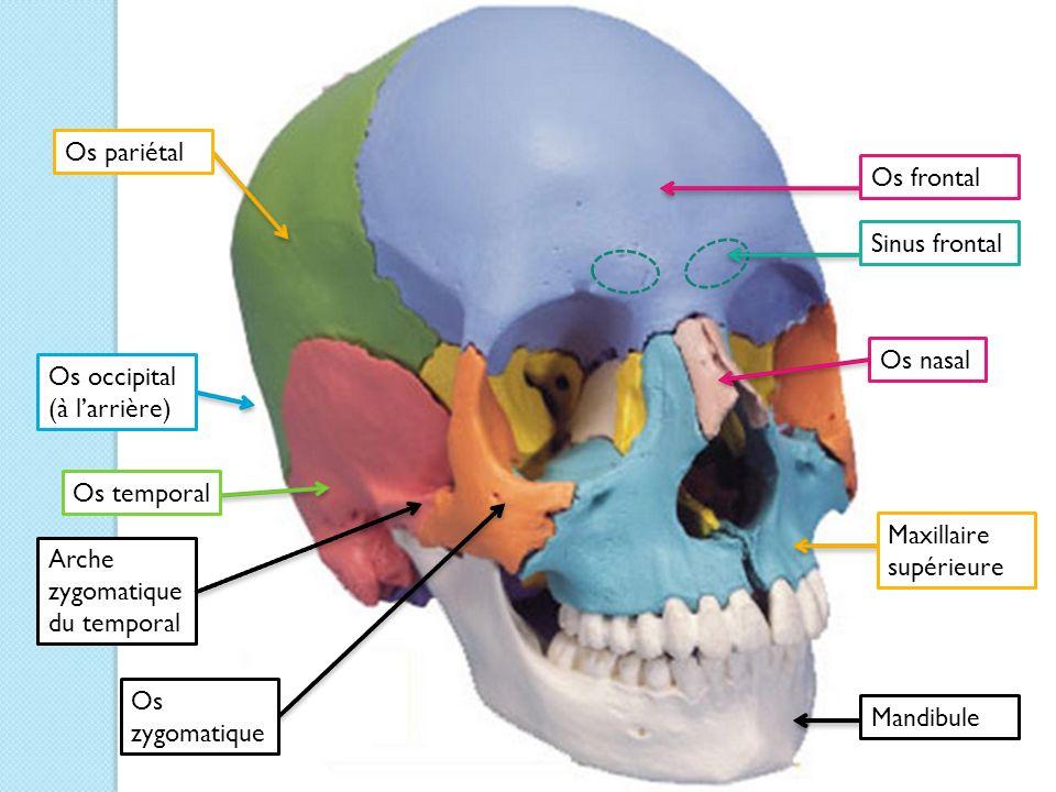 Os pariétal Os frontal. Sinus frontal. Os nasal. Os occipital (à l'arrière) Os temporal. Maxillaire supérieure.