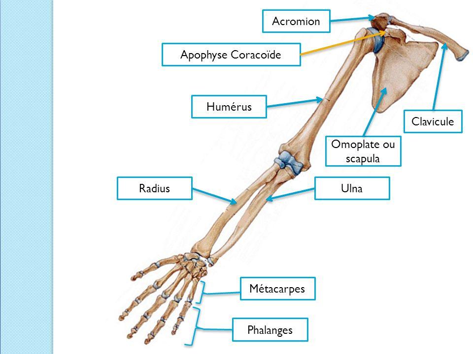 Acromion Apophyse Coracoïde Humérus Clavicule Omoplate ou scapula Radius Ulna Métacarpes Phalanges