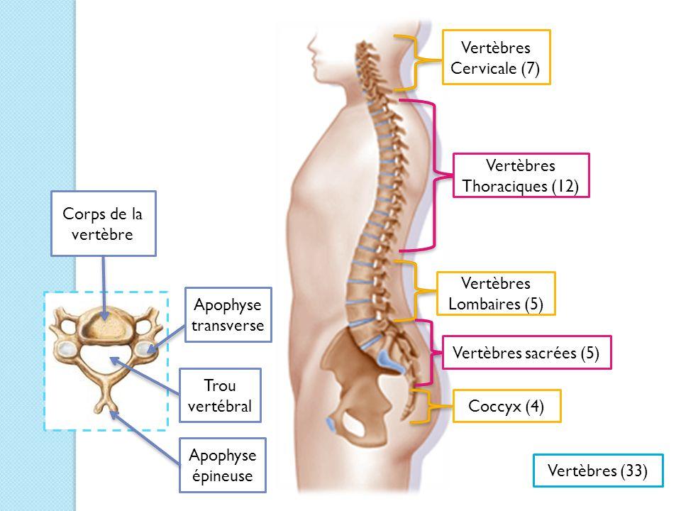 Vertèbres Cervicale (7)
