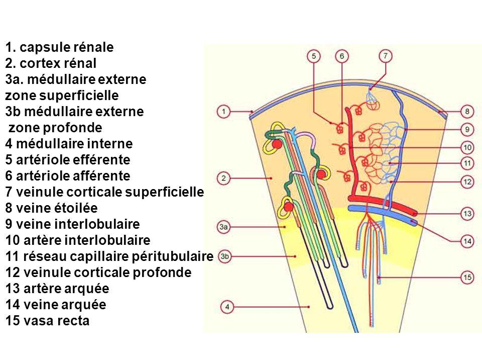 1. capsule rénale 2. cortex rénal 3a