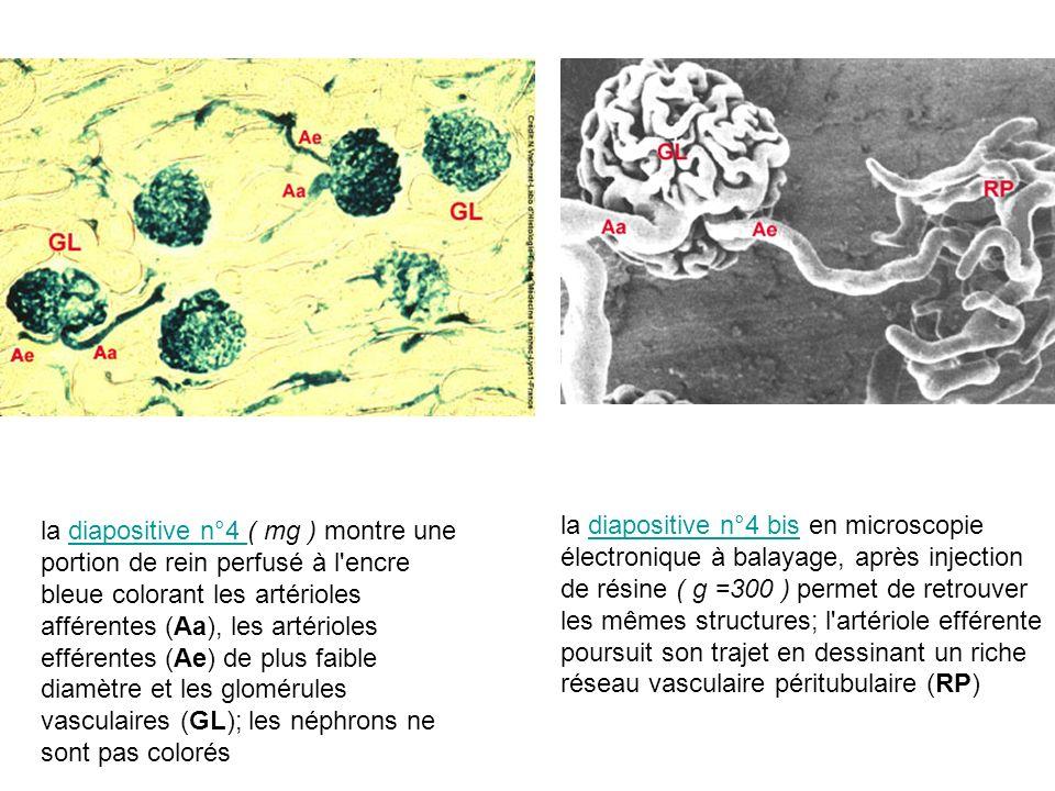 la diapositive n°4 ( mg ) montre une portion de rein perfusé à l encre bleue colorant les artérioles afférentes (Aa), les artérioles efférentes (Ae) de plus faible diamètre et les glomérules vasculaires (GL); les néphrons ne sont pas colorés