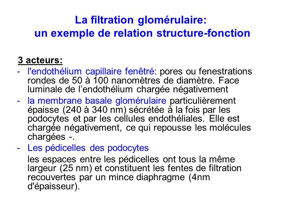 La filtration glomérulaire: un exemple de relation structure-fonction