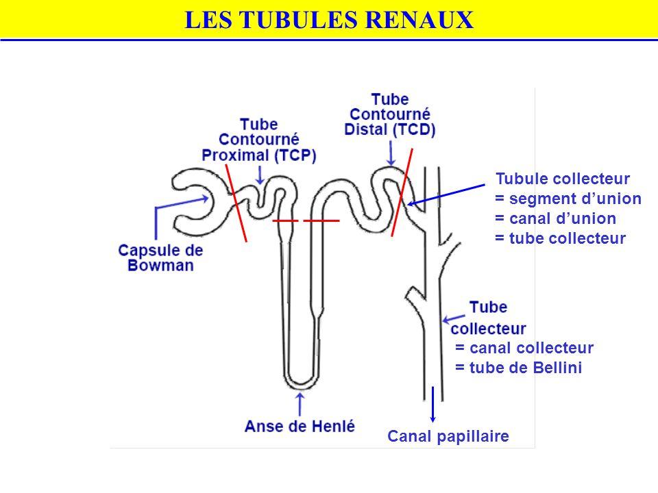 LES TUBULES RENAUX Tubule collecteur = segment d'union = canal d'union