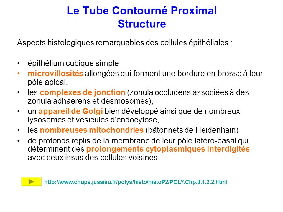Le Tube Contourné Proximal Structure