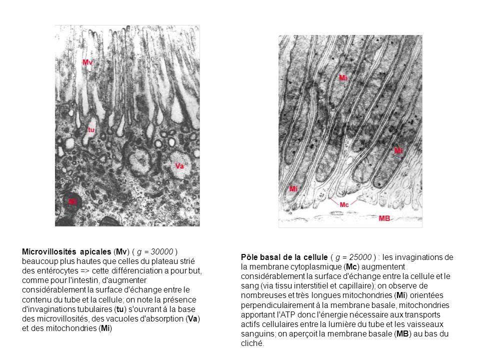 Microvillosités apicales (Mv) ( g = 30000 ) beaucoup plus hautes que celles du plateau strié des entérocytes => cette différenciation a pour but, comme pour l intestin, d augmenter considérablement la surface d échange entre le contenu du tube et la cellule; on note la présence d invaginations tubulaires (tu) s ouvrant à la base des microvillosités, des vacuoles d absorption (Va) et des mitochondries (Mi)