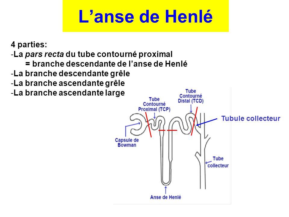 L'anse de Henlé 4 parties: La pars recta du tube contourné proximal