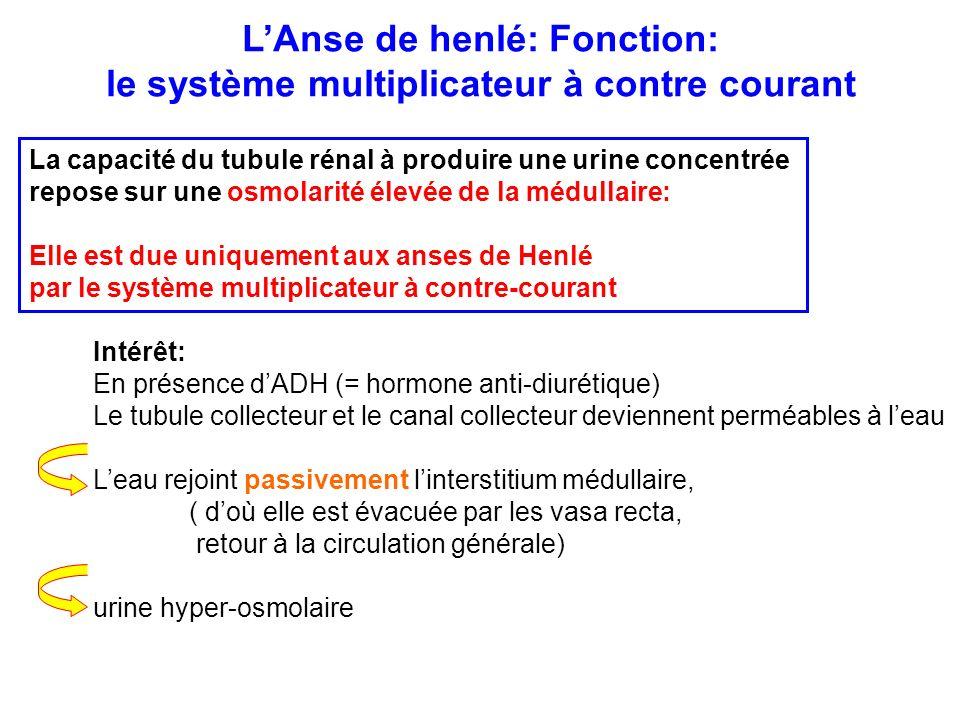 L'Anse de henlé: Fonction: le système multiplicateur à contre courant