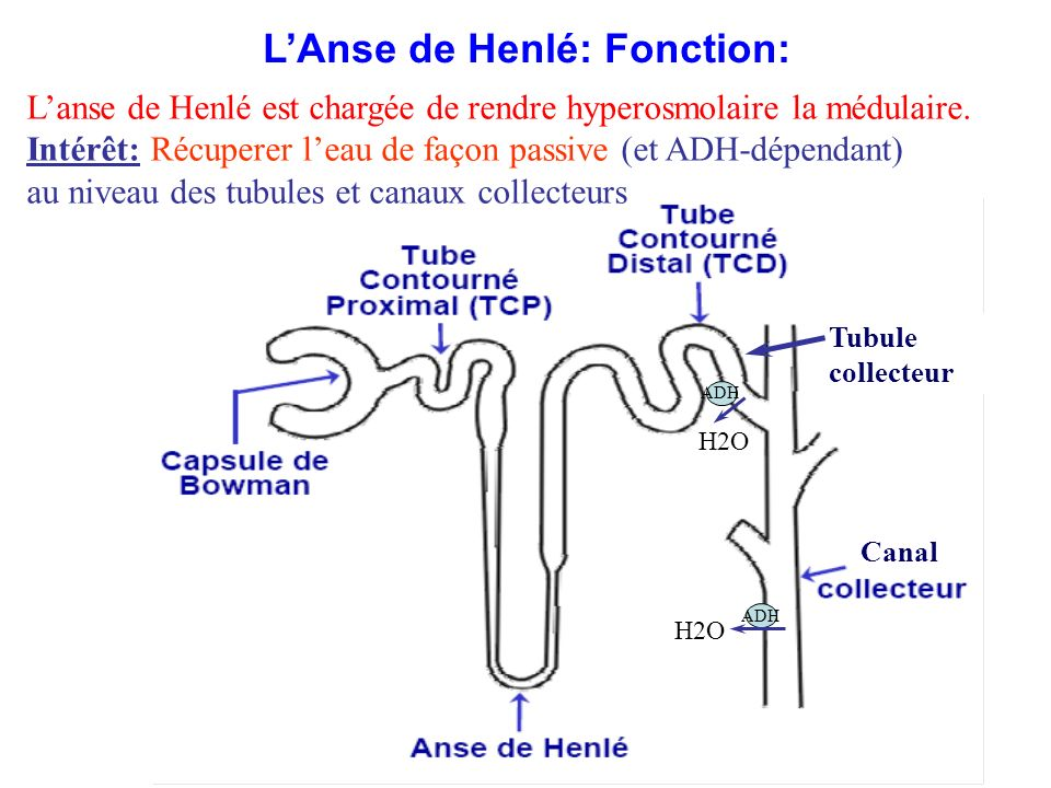 L'Anse de Henlé: Fonction: