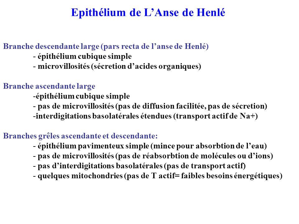 Epithélium de L'Anse de Henlé