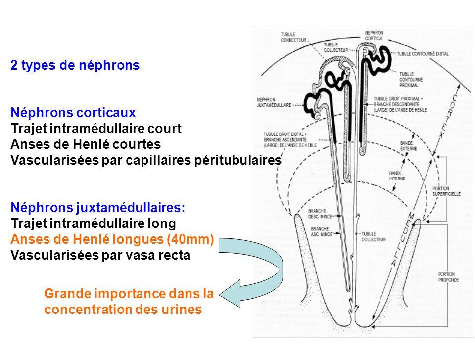 2 types de néphrons Néphrons corticaux. Trajet intramédullaire court. Anses de Henlé courtes. Vascularisées par capillaires péritubulaires.