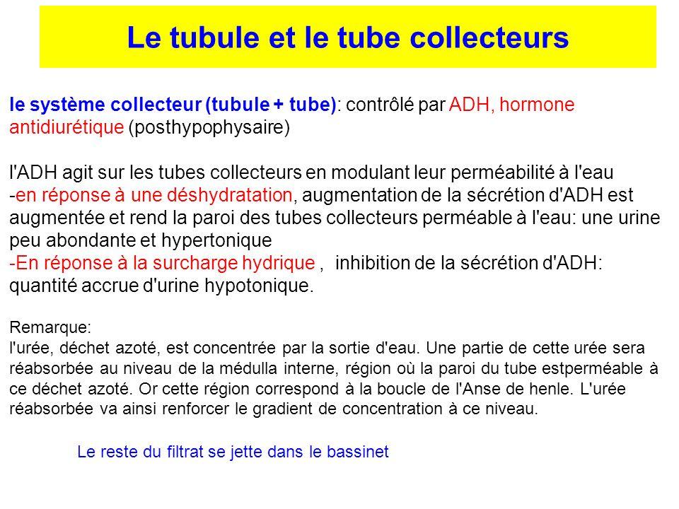 Le tubule et le tube collecteurs