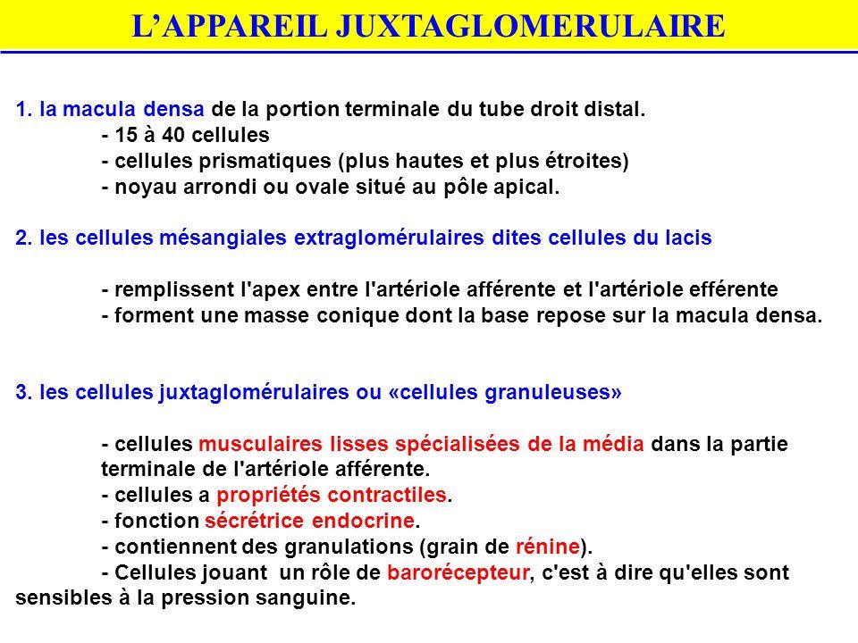 L'APPAREIL JUXTAGLOMERULAIRE
