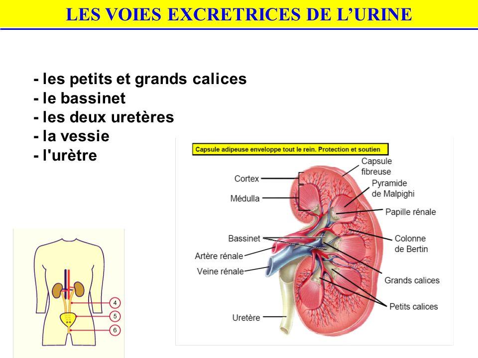 LES VOIES EXCRETRICES DE L'URINE