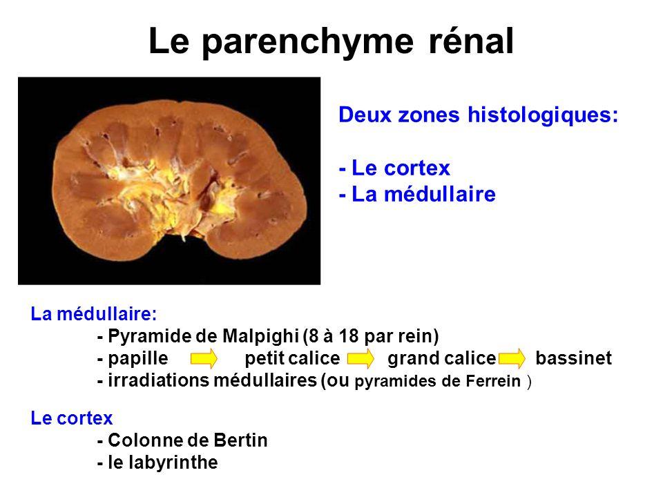 Le parenchyme rénal Deux zones histologiques: - Le cortex