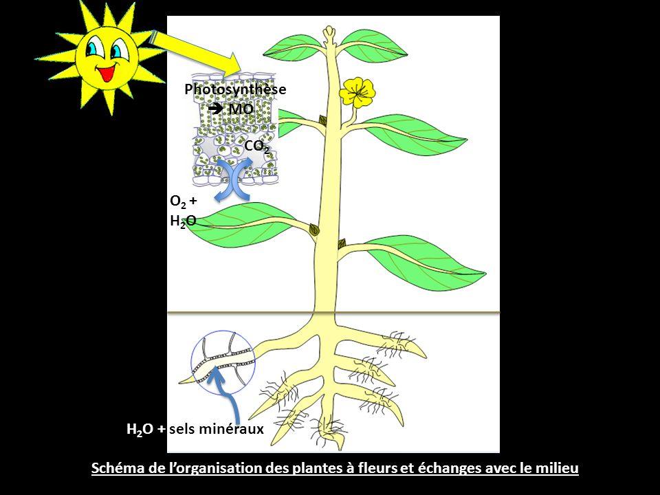 Photosynthèse  MO CO2 O2 + H2O H2O + sels minéraux