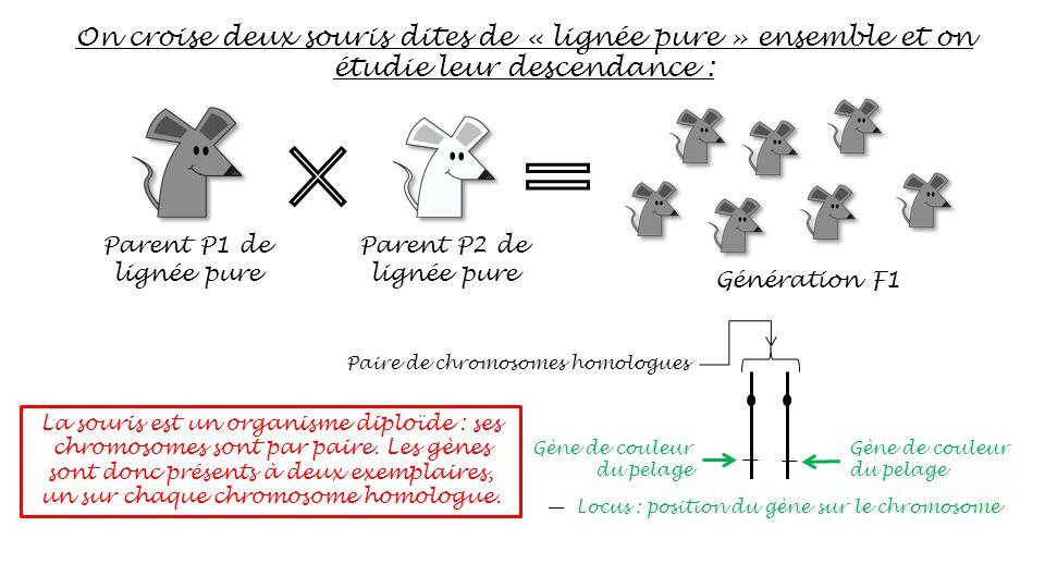 On croise deux souris dites de « lignée pure » ensemble et on étudie leur descendance :