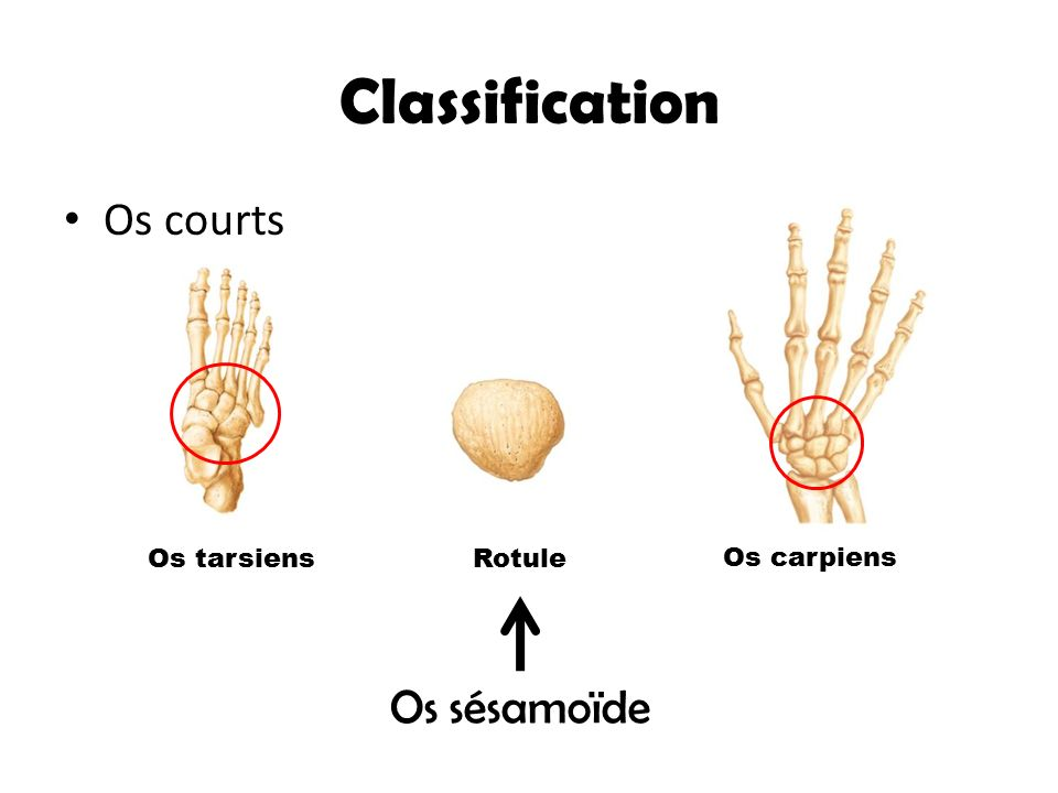 Classification Os courts Os sésamoïde Os tarsiens Rotule Os carpiens